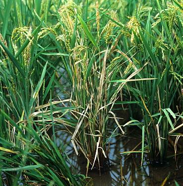 Sheath blight, (Rhizoctonia solani) disease infected paddy Rice (Oryza sativa) crop, Luzon, Philippines