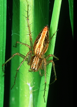 Lynx spider (Oxyopes sp.) a predatory hunting spider of small in vertebrates in Rice (Oryza sativa) crops, Luzon, Philippines,