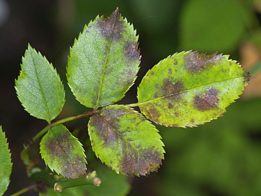 Black spot (Diplocarpon rosae) infection of leaves of an ornamental garden rose, Berkshire, July