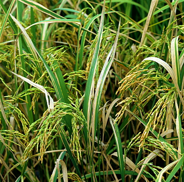 Bacterial blight (Xanthomonas oryzae pv oryzae) disease lesions on Rice (Oryza sativa) crop, Luzon, Philippines