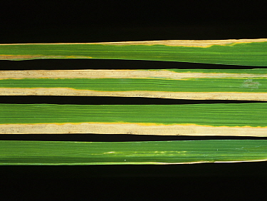 Bacterial blight (Xanthomonas oryzae pv. oryzae) lesion on Rice (Oryza sativa) leaf, Thailand, Thailand.