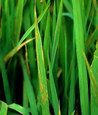 Bacterial leaf streak (Xanthomonas oryzae pv. oryzicola) lesions on Rice (Oryza sativa) leaves, Luzon, Philippines