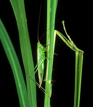 Meadow / long-horned grasshopper (Conocephalus longipennis) pest of Rice (Oryza sativa) and predator of Rice bugs and stem borers, Philippines