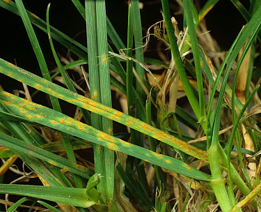 Crown rust (Puccinia coronata) leaf infection on meadow-grass (Poa sp.)
