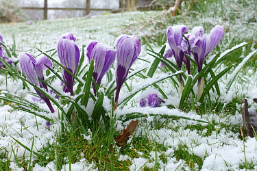 Light snow dusting on flowering large flowered white and purple Crocuses 'Pickwick' in winter, Berkshire, March