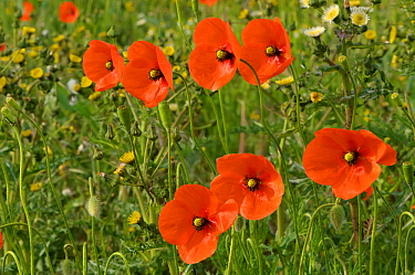 Common poppies (Papaver rhoeas) growing in a consevation margin, RSPB Hope Farm reserve, Cambridgeshire, England, UK, May. 2020VISION Book Plate. Did you know? Common poppy seeds can lie dormant for u...
