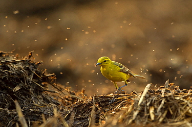 Yellow wagtail (Motacilla flava flavissima) adult male in spring plumage feeding on dung flies at farm midden heap, Hertfordshire, UK, April