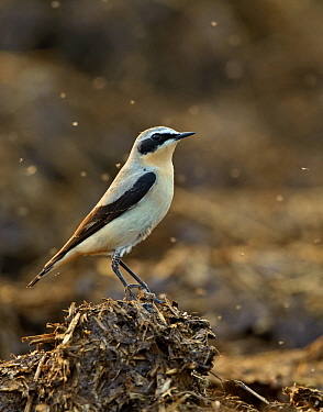 Northern wheatear (Oenanthe oenanthe) adult male in spring plumage feeding on dung flies at farm midden heap, Hertfordshire, UK, April
