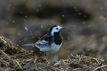 Pied wagtail (Motacilla alba yarrellii) adult male in spring plumage feeding on dung flies at farm midden heap, Hertfordshire, UK, April