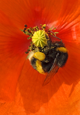 Buff-tailed bumble bee (Bombus terrestris) on field poppy (Papaver rhoeas) showing fully laden pollen sacs, RSPB Hope Farm, Cambridgeshire, UK, May