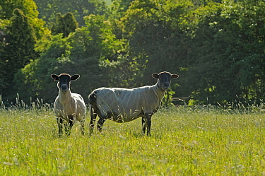 Two newly clipped Domesitc sheep grazing in pasture at RSPB's Hope Farm, Cambridgeshire, UK, May 2011.