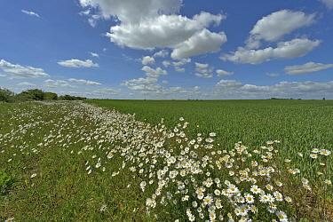 Herb rich conservation margin around farmland with Ox-eye daisies (Leucanthemum vulgare) at RSPB's Hope Farm, Cambridgeshire, UK, May 2011