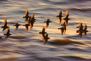 Flock of Dunlin (Calidris alpina) in flight at sunset over the Wash estuary, Snettisham RSPB reserve, Norfolk, England, UK, March. Did you know? While migrating, dunlins travel in massive groups of up...
