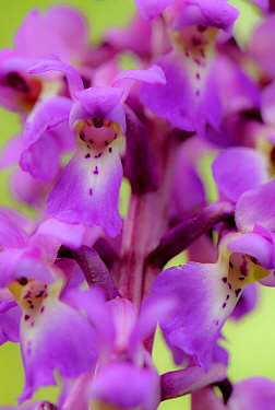Close-up of Early purple orchid (Orchis mascula) in flower, Gamlingay Wood, Cambridgeshire, England, UK, April