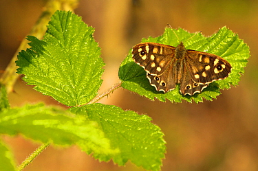 Speckled wood butterfly (Pararge aegeria) on Bramble (Rubus fructicosus) leaves, Gamlingay Wood, Cambridgeshire, England, UK, April, UK