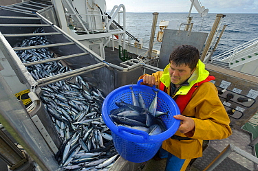 Atlantic mackerel (Scomber scombrus) in fish separator on board Shetland pelagic trawler 'Charisma', with crew member David Anderson taking a sample for measurement. Shetland Isles, Scotland, UK, Octo...