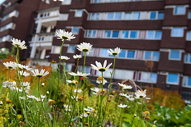 Ox-eye daisies (Leucanthemum vulgare) growing in Evelyn Community Gardens, Deptford, London, England, UK, August. 2020VISION Book Plate. Did you know? Daisies are very successful in urban habitats due...