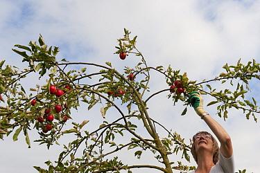 Volunteer picking Crab apples (Malus baccata) from tree, Old Sleningford Community Farm, North Yorkshire, England, UK, September 2011.