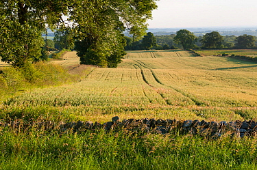 Barley crop in field, Haregill Lodge Farm, Ellingstring, North Yorkshire, England, UK, July.