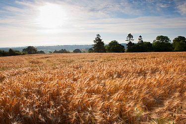 Ripe Barley crop in field, Haregill Lodge Farm, Ellingstring, North Yorkshire, England, UK, July.