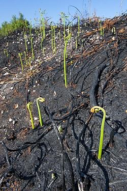 Recently burnt heathland, showing new Bracken growth  (Pteridium aquilinum), Caesar's Camp, Fleet, Hampshire, England, UK, May.
