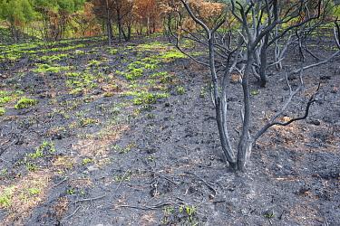 Recently burnt heathland, with new growth, Caesar's Camp, Fleet, Hampshire, England, UK, May.