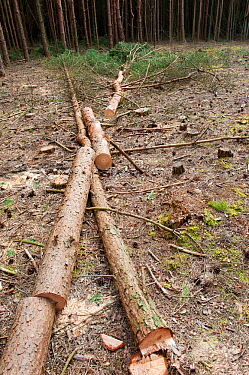 Sawn up tree trunks in woodland plantation clearing, Caesar's Camp, Fleet, Hampshire, England, UK, March.