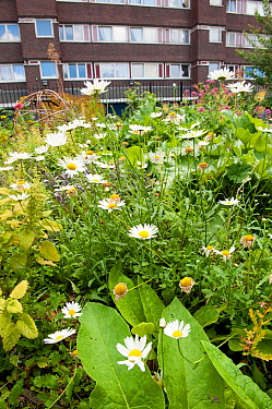 Ox-eye daisies (Leucanthemum vulgare) growing in Evelyn Community Gardens, Deptford, London, England, UK, September