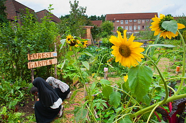 People working and looking around in Evelyn Community Gardens, with Sunflowers (Helianthus annus) Deptford, London, England, UK, August 2011.