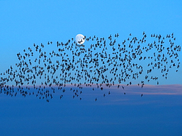Golden plover (Pluvialis apricaria) flock flying with the moon in the background,, Titchwell, Norfolk, December.