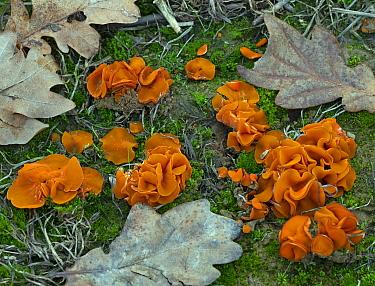 Orange peel fungus (Aleuria aurantia) Norfolk, England, UK, January.