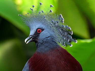 Victoria crowned pigeon (Goura victoria) portrait. Captive, occurs in New Guinea.
