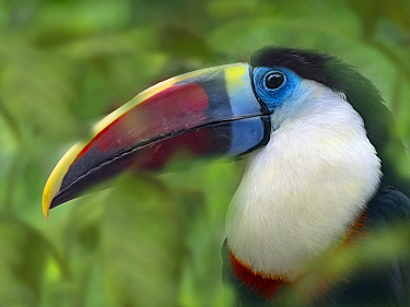 White-throated toucan (Ramphastos tucanus) captive, occurs in South America, with digitally added leaves.