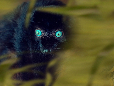 Blue-eyed black lemur (Eulemur flavifrons) male, captive, occurs in Sulawesi. With digitally added leaves.