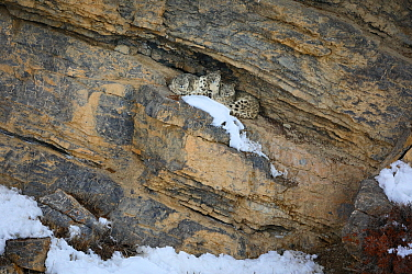 Snow leopard (Panthera uncia) female with her two juveniles resting in a cliff cave, Spiti Valley, Cold Desert Biosphere Reserve, Himalaya, Himachal Pradesh, India, March