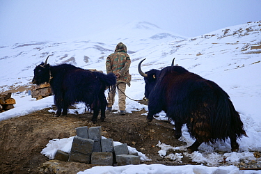Shepherd with Domestic yak (Bos grunniens) in Kibber village in Spiti Valley, Cold Desert Biosphere Reserve, Himalaya, Himachal Pradesh, India, March