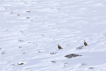 Himalayan snowcock (Tetraogallus himalayensis) in a mountain slope at 4,400 meters, Spiti Valley, Cold Desert Biosphere Reserve, Himalaya, Himachal Pradesh, India, March