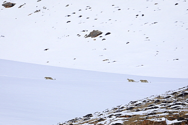 Snow leopard (Panthera uncia) female with her two juveniles walking in snow, in Spiti Valley, Cold Desert Biosphere Reserve, Himalaya, Himachal Pradesh, India, March