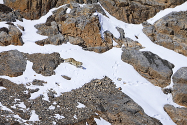 Snow leopard (Panthera uncia) juvenile walking in snow, in Spiti Valley, Cold Desert Biosphere Reserve, Himalaya, Himachal Pradesh, India, March
