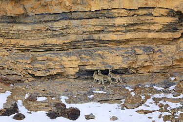 Snow leopard (Panthera uncia) female with her two juveniles, sniffing a territorial mark in a rock, in Spiti Valley, Cold Desert Biosphere Reserve, Himalaya, Himachal Pradesh, India, March