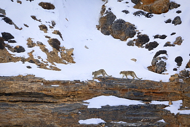 Snow leopard (Panthera uncia) female with juvenile, walking in snow, in Spiti Valley, Cold Desert Biosphere Reserve, Himalaya, Himachal Pradesh, India, March