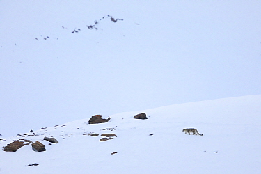 Snow leopard (Panthera uncia) walking in snow, in Spiti Valley, Cold Desert Biosphere Reserve, Himalaya