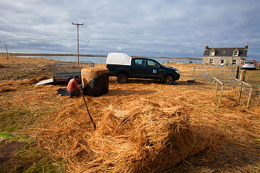 Jamie Boyle RSPB warden for the Uistsputting out Black oat and Rye grass sileage for winter feed for declining Corn Buntings (Miliaria calandra) North Uist, Outer Hebrides, Scotland, UK, March.