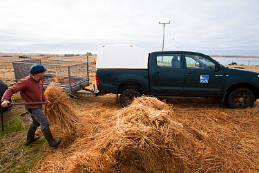 Jamie Boyle RSPB warden for the Uists, putting out Black oat and Rye grass sileage for winter feed for declining Corn Buntings (Miliaria calandra) North Uist, Outer Hebrides, Scotland, UK, March.