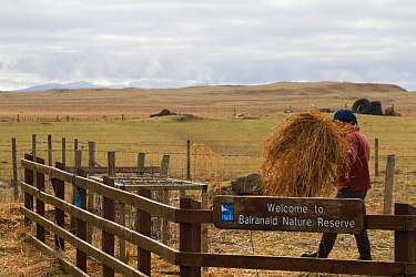 Jamie Boyle, RSPB warden for the Uists putting out black oat and rye grass silage. Winter feed for declining corn buntings (Miliaria calandra), Balranald Nature Reserve, North Uist, Outer Hebrides, Sc...