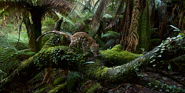 Spotted-tailed quoll (Dasyurus maculatus) scent marking in Monga National Park, New South Wales, Australia. Remote camera, triggered by movement. Highly Commended 2018 Wildlife Photographer Of The Yea...