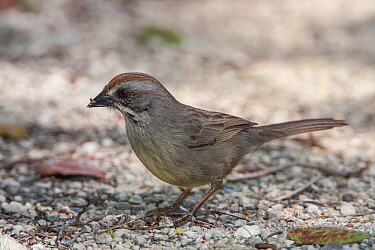 Zapata Sparrow (Torreornis inexpectata), Cuba. Vulnerable species.