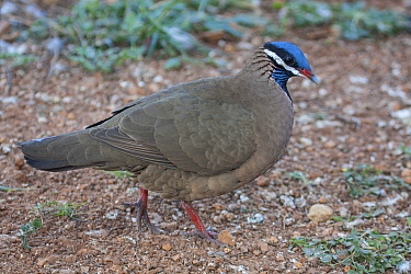 Blue-headed quail-dove (Starnoenas cyanocephala) profile, Cuba. Endangered species. Endemic.