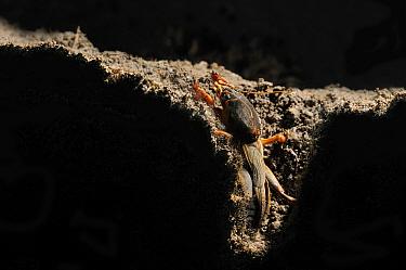 European mole cricket, (Gryllotalpa gryllotalpa), emerging from its burrow Italy, captive.