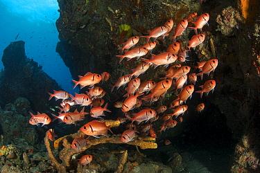 Shoal of Bigscale soldierfish (Myripristis berndti), Dominica, Caribbean Sea, Atlantic Ocean